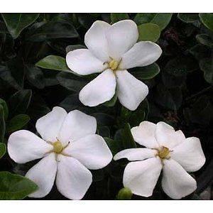 500 Seeds Gardenia jasminoides Gardenia, Cape jasmine