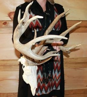 whitetail deer skulls in Deer