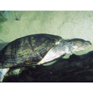 African Aquatic Sideneck Turtle   Reptile   Live Pet