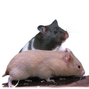 Fancy Bear Hamster   Small Pet   Live Pet