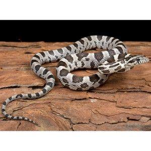 Anerythristic/Black Corn Snake   Live Pet   Sale