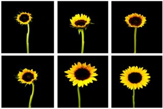 The Six Stages of the Sunflower Life Cycle