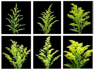 The Six Stages of the Solidago or Solid Aster Life Cycle