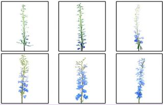 The Six Stages of the Delphinium Life Cycle