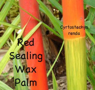 LIVE Red Sealing Wax Palm Tree Cyrtostachys renda 2 3ft