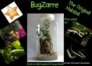 praying mantis stick insect invert habitat from united kingdom returns