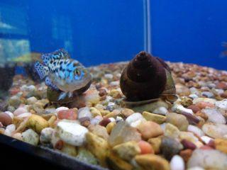Live Trapdoor Snails Koi pond fish tank aquarium ALGA CONTROL CLEAN