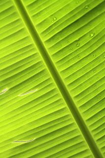 BANANA Leaf for Live Breeding Betta Fish Aquarium Angel discus pleco