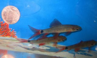Rainbow Shark for Live Freshwater Aquarium Fish