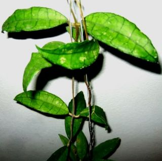 You are watching exact plant of Hoya finlaysoni​i Large Leaves, 1