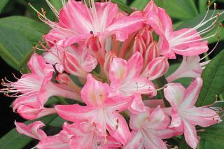 Deciduous Exbury Azalea Ribbon Candy   Very Hardy