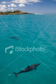 stock photo 3985745 two spinner dolphins