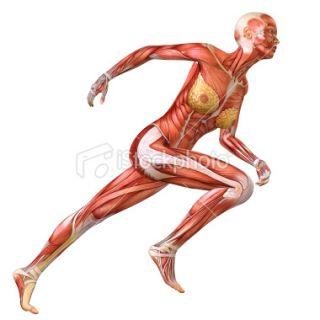 Anatomie humaine, Squelette Humain, Personne, Femmes, Une seule femme