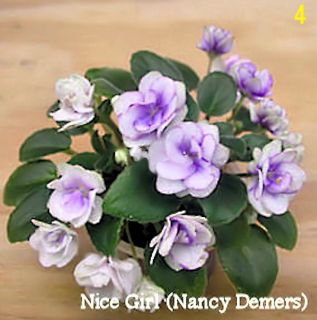 African Violet Plant Nice Girl by N Demers Plant in Pot Mini Trailer