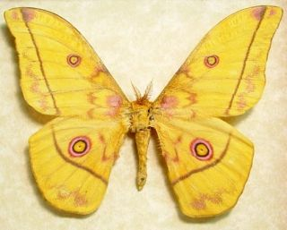 Nudaurelia Dione Yellow Framed Silk Moth Pink Eyes Cameroon 8102