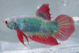 Live Male Betta Fish Dragon Scales Live Aquarium Fish