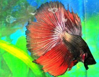 Bronze Black Male Halfmoon Betta Live Fish FM1BZBLK