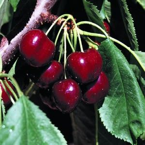 Lapin Sweet Cherry Trees 5 Seeds Bing Cherry Fruits