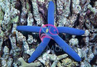 Blue Linckia Sea Star Blue Linkia Live Salt Water Aquarium