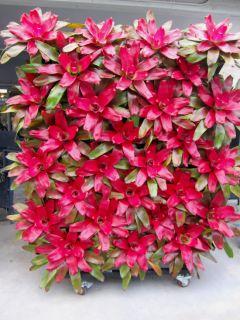 BROMELIAD Neoregelia GREEN APPLES Bright RED*