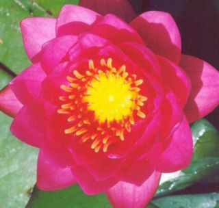 James Brydon Hot Pink Hardy Water Lily Shade Tolerant