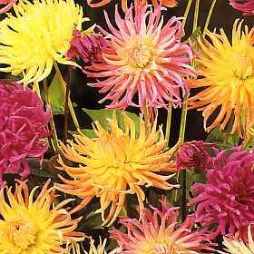 dahlia cactus flowered hybrids seeds annual approx 25 seeds per