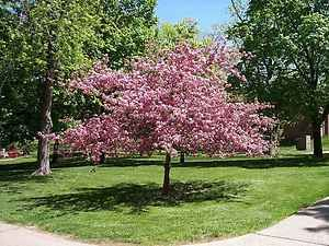 Yoshino Cherry Tree Beautiful Pink Blooms 4 5 ft Tall $18 50