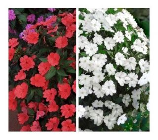 Cottage Farms 6 Piece Bold and Beautiful SunPatiens Collection