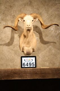 6495 Texas Dall Sheep RAM Taxidermy Shoulder Mount