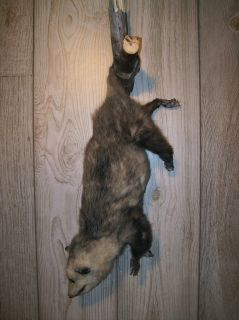 Large Opossum Exotic Animal Fur Taxidermy Full Bodied Hanging Wall