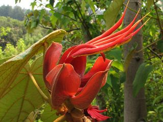 Pentadactylon Monkey Hand Tree RARE Cloudforest Subtropical