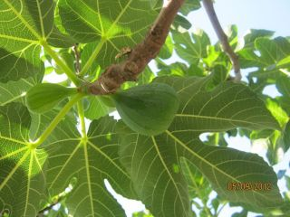 Organic Fig Tree Cutting