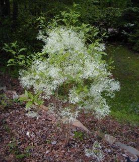 ONE 10 12 SOURWOOD TREE WHITE FLOWERING COLORFUL ORNAMENTAL TREE