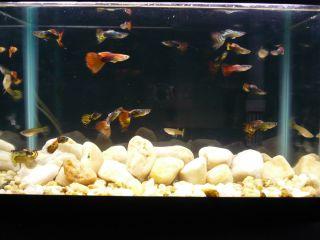 LIVE FANCY GUPPIES Assorted Color tropical fish tank aquarium pet