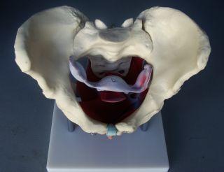 Model Anatomy Professional Medical Female Pelvic Muscles Organs It 026