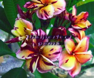 Plumeria Plants Flowers Blackcyclone Fresh 55 Seeds