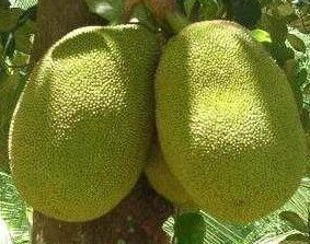 Oriental Fruits JACK FRUIT Fresh Seed for you to grow your own fruit