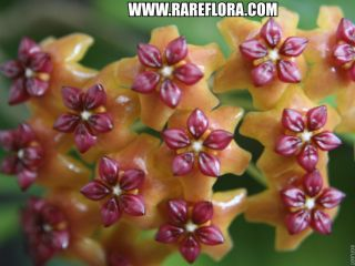 gorgeous fragrant flowers unusual tropical shade plant USA