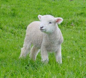 Shepherd Sheep Flock Dog Vtg Lithograph Print Art Litho Surreal Farm