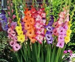 Gladiolus Flower Bulb Mom Special 85 Limit Sale Hurry