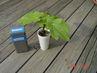 Col de Dame Grise Fig Tree Ficus Carica