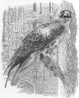 Red Tailed Hawk Bill Harrah Matted Card Avian Bird Art