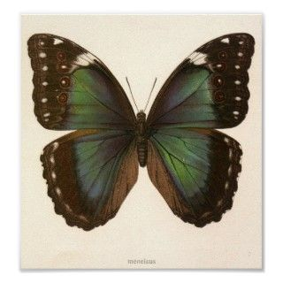 Vintage Animal Insect Butterfly Specimen Print
