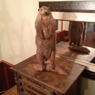 Lifesize Taxidermy Woodchuck Groundhog