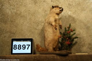 8897 Marmot Lifesize Taxidermy Woodchuck Groundhog
