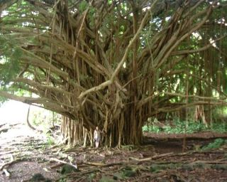 Fast Growing Banyan Tree Strangler Fig Fresh Seeds
