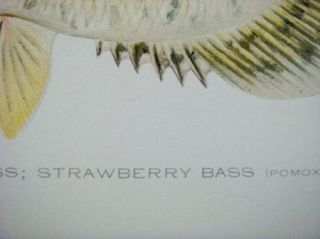 Antique Offset Lithograph Vintage Calico Bass Fish Print Denton