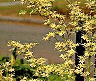 Japanese Green Maple Tree 3 4 Foot Shrub Nice Plant