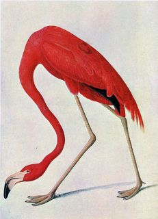 "Audubon Flamingo by John James Audubon 20""x26"" Art on Canvas"