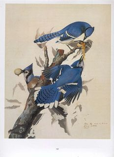 John James Audubon Bird Print Blue Jay Stealing Eggs